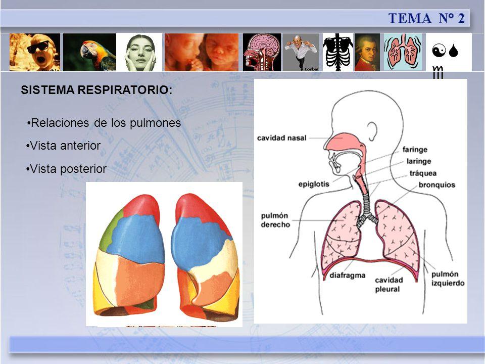 [Se] SISTEMA RESPIRATORIO: Relaciones de los pulmones Vista anterior